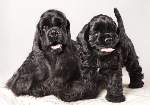 Two black American cocker spaniel puppies