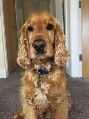 Archie, a beautiful golden cocker spaniel, sitting for the camera