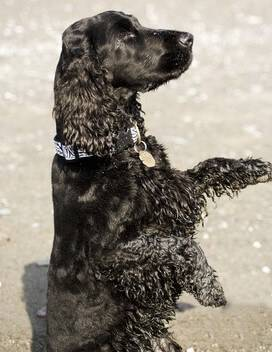 Black cocker spaniel sitting on hind-quarters, begging, on the beach
