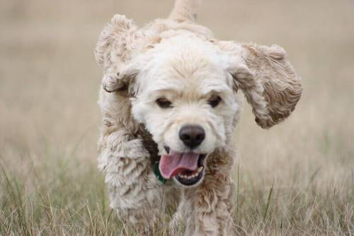 Buff colored cocker spaniel running through field of dry grass
