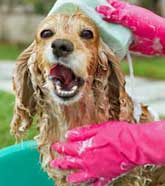 Golden cocker spaniel in basin outdoors being bathed with sponge and soapy water