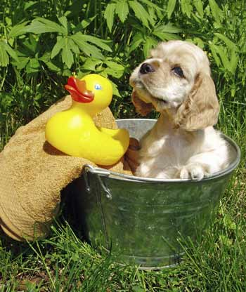 Cocker Spaniel puppy having a bath in a tin bucket, with yellow duck and towel