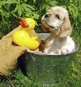 Golden cocker spaniel puppy being bathed in aluminium pail