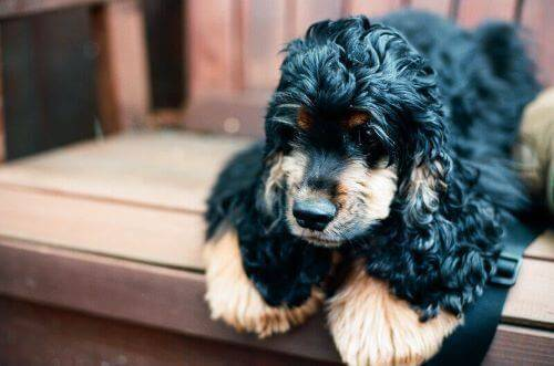 Black and tan cocker spaniel puppy. Just  look at those lovely eyebrows!