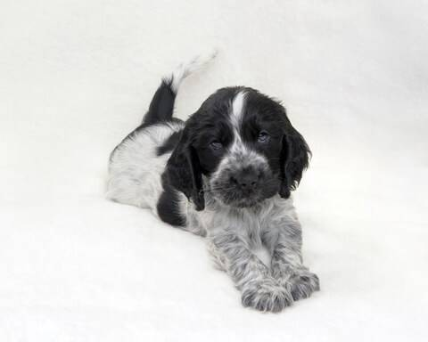 Blue roan cocker spaniel puppy