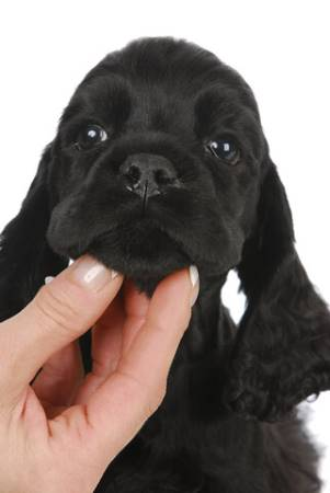 Bringing home a new puppy like this black cocker spaniel is so exciting!