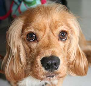 Golden cocker spaniel puppy. Appealing, liquid eyes. Headshot.