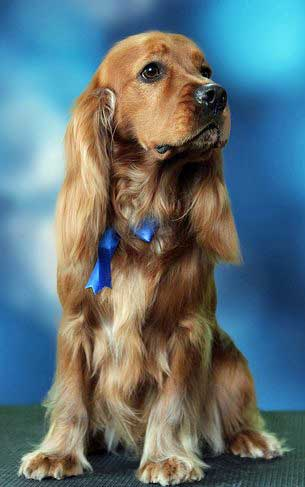 Beautifully brushed golden cocker spaniel wearing blue ribbons in her ears