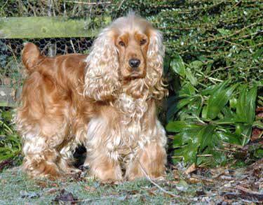 Max, my golden Cocker Spaniel enjoying a patrol around an autumnal garden