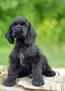 Black American cocker spaniel puppy sitting on tree trunk