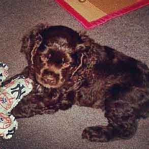 Chocolate brown cocker spaniel puppy lying on floor playing with toy