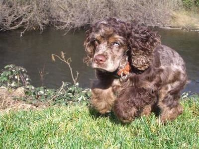 Chocolate roan Spaniel running alongside a river