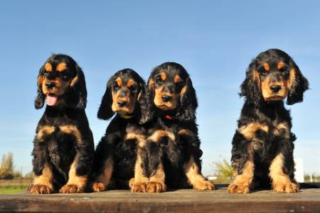 Four beautiful black and tan cocker spaniel puppies sitting in a row