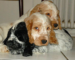 Three Cocker spaniel puppies snuggling for warmth