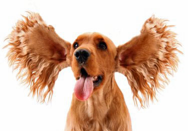 Keeping your dog's ears clean, just like this golden cocker spaniel's, is vital to their health