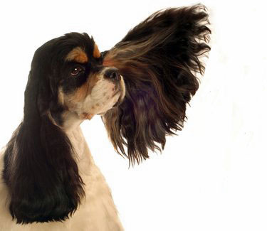 Black, tan and white cocker spaniel with one ear splayed out to the side