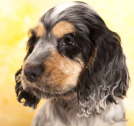 Black, white and tan cocker spaniel puppy, great breed!