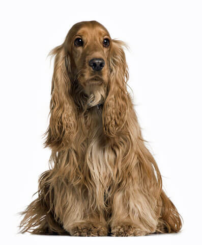 Cocker spaniel characteristics are wonderful. Just look at his beautiful coat and ears, and those eyes....adorable!