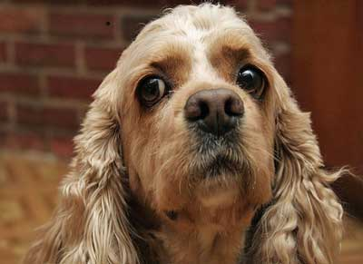 Golden cocker spaniel with funny look on his face