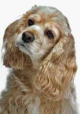 Cute buff colored cocker spaniel