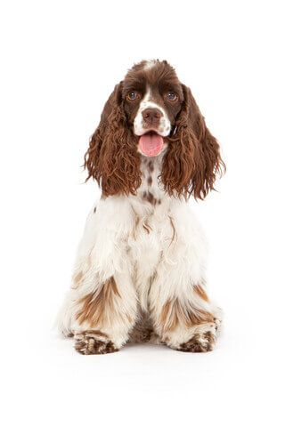 Tan and white Cocker Spaniel sitting, pink tongue showing, white background