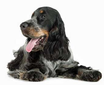 Cocker spaniel looking the picture of health!
