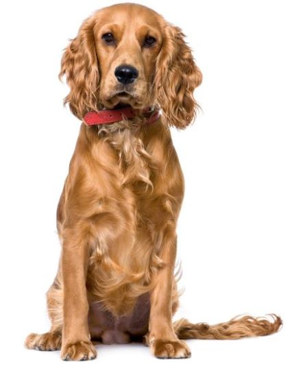 Golden Cocker spaniel sitting, wearing red collar.