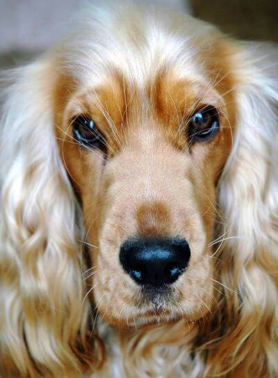 A close-up headshot of a beautiful golden cocker spaniel, with gorgeous dark brown eyes and a black shiny nose. He's beautiful!