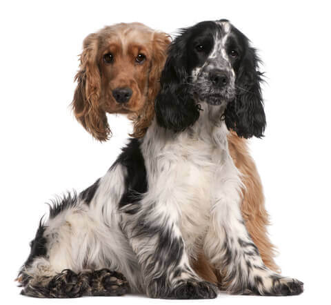 Black and white cocker spaniel with golden cocker peeking over other dog's shoulder