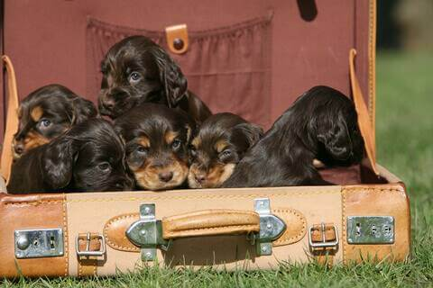 Six black and tan cocker spaniel puppies in a leather briefcase