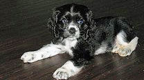 Black and white cocker spaniel puppy - cute!