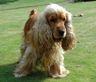 of Cute Cocker Spaniel...