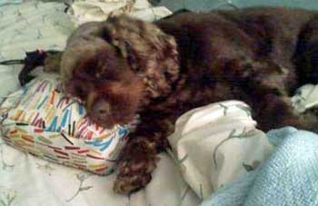 Chocolate cocker spaniel puppy sparked out on pillow!