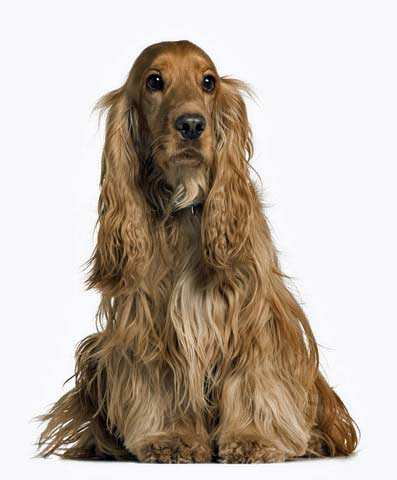 Beautiful golden cocker spaniel, sitting, white background.