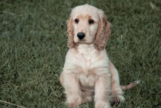 Cocker spaniel breeder adults