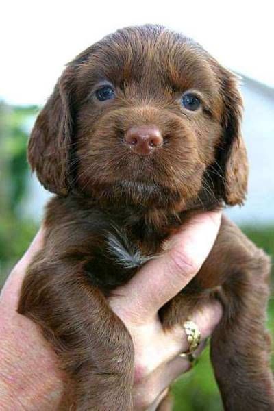 Chocolate cocker spaniel puppy, held in hand