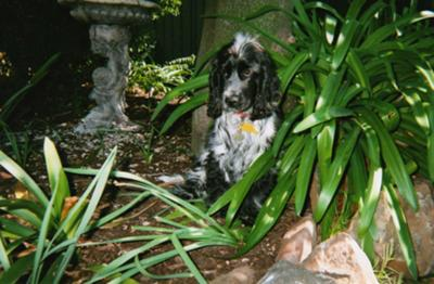 Beautiful blue roan cocker spaniel sitting in a garden surrounded by plants.