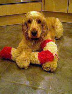 Beautiful golden or orange roan cocker spaniel playing with soft toy on kitchen floor