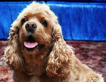 Golden cocker spaniel with vivid blue background