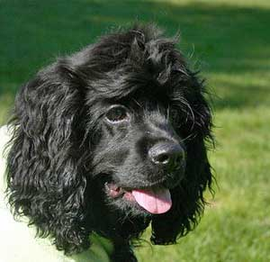 Black american cocker spaniel wearing vest