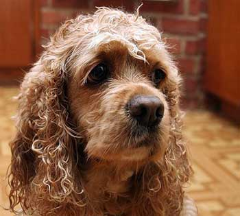 Soulful looking cocker spaniel