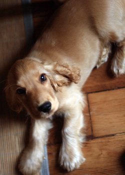 Golden cocker spaniel puppy lying on wooden floor, looking up with big brown eyes.