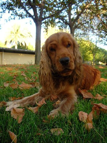 Golden cocker spaniel resting in the park, autumn