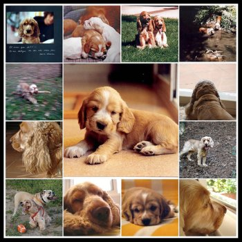 Montage of cocker spaniel dogs and puppies