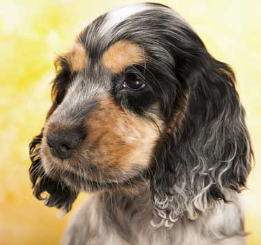 Cocker spaniel puppy face, black and tan with blue roan
