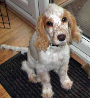 Do Cocker Spaniels Need Another Dog For Company?