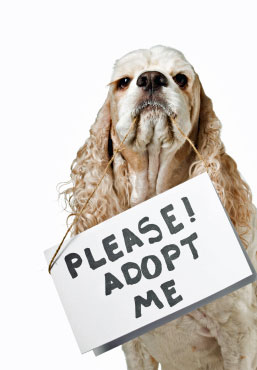 Cocker Spaniel adoption plea. American cocker spaniel asking to be adopted, so cute!