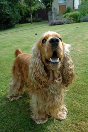 Golden cocker spaniel barking in the garden