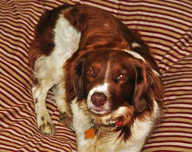 Red and white spaniel lying on his comfortable dog bed