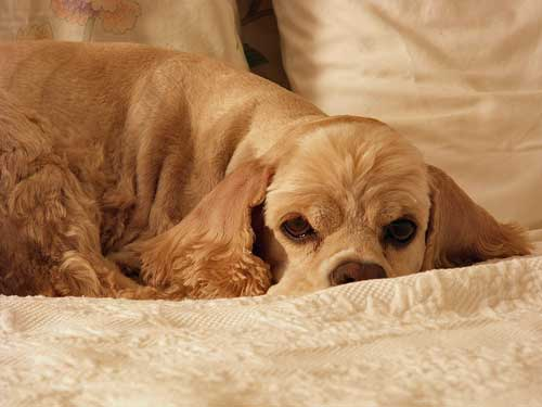 Golden cocker spaniel lying on the bed